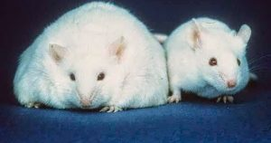 Two mice are side by side. There left mouse is fat whereas the right one is thin.
